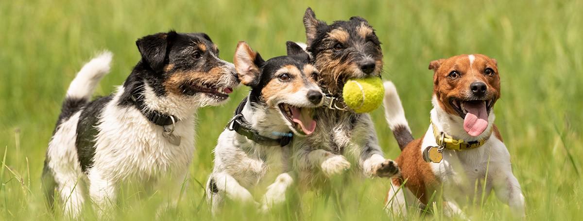 gusano del corazon en perros