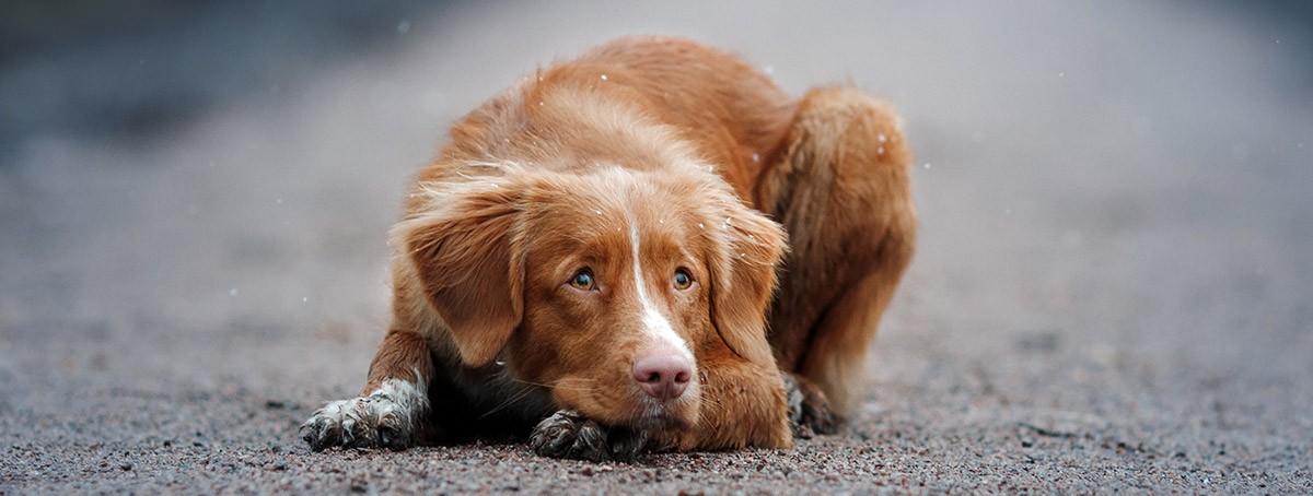 gusano ganchudo en perros