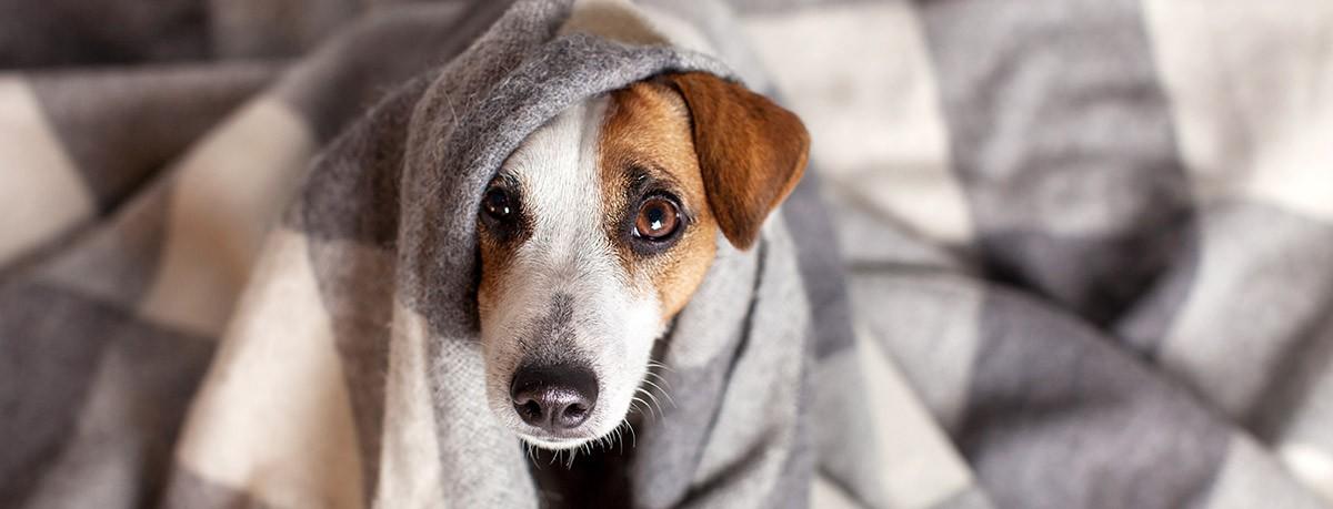 ¿Cómo prevenir el frío en los perros?