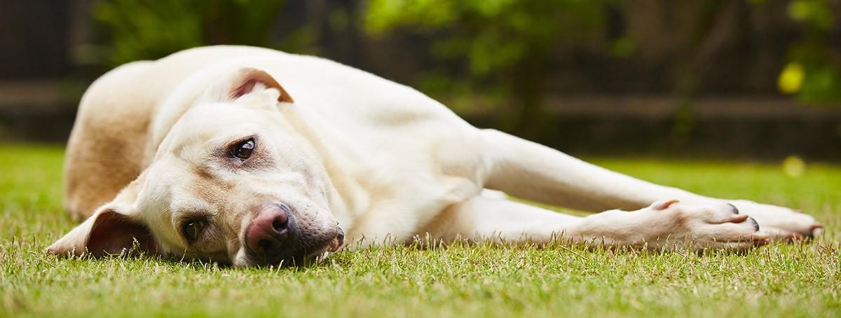 gusano latigo en perros