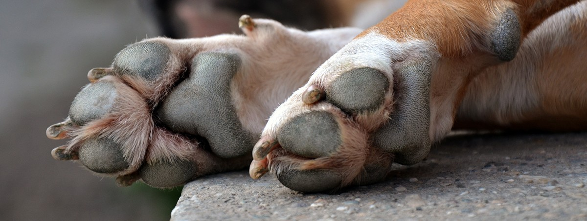 La sudoración de los perros
