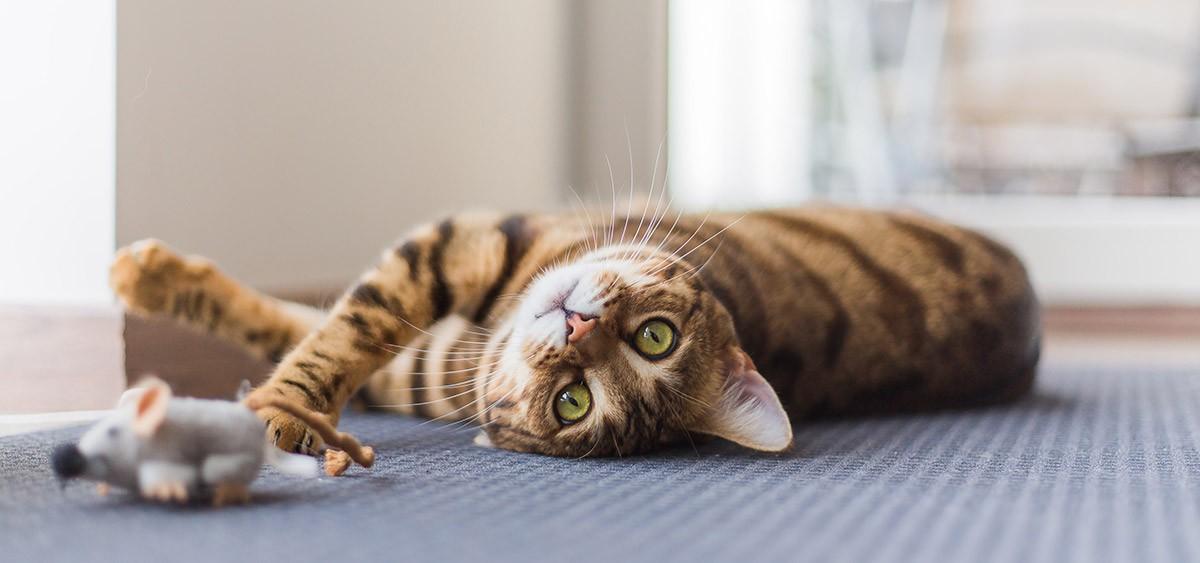 Todo sobre el carácter de los gatos y personalidad