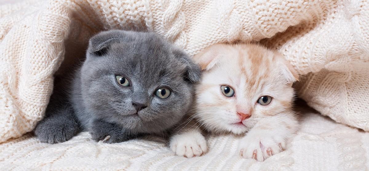 Dipylidiums y tenias en gatos: ladrones silenciosos