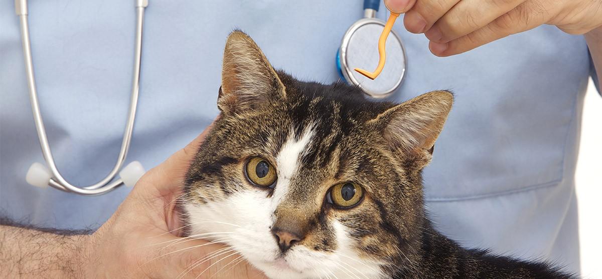 La pulga en los gatos: ese pequeño gran enemigo