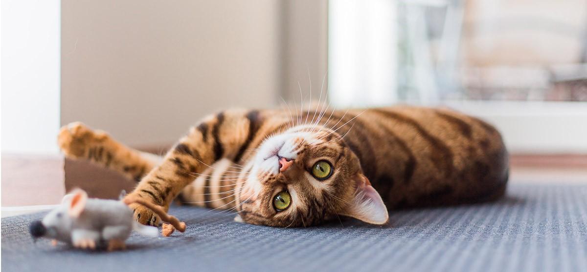 Cómo jugar y divertirse con un gato | Blog de mascotas